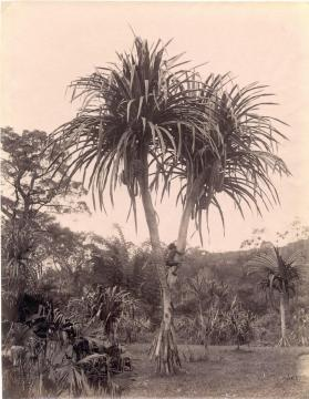 Boy climbing a palm tree