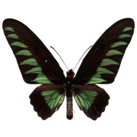 Rajah Brooke's Birdwing (Trogonoptera brookiana albescens) male