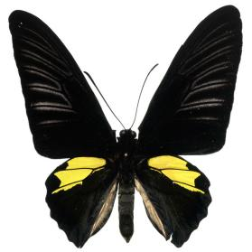 Birdwing butterfly (Troides plateni) male