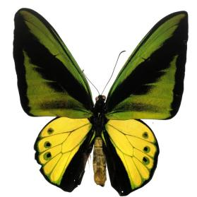 Goliath Birdwing (Ornithoptera goliath supremus) male