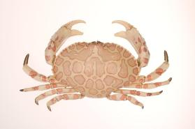Calico box crab