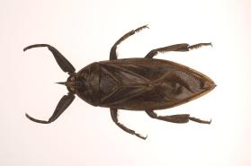 Giant Water Bug (Lethocerus sp.)