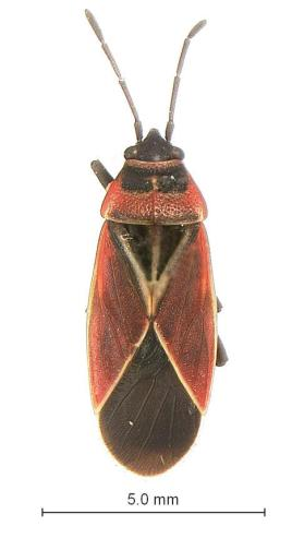 White-Crossed Seed Bug (Neacoryphus bicrucis)