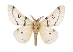 Burns' Buckmoth (Hemileuca burnsi)