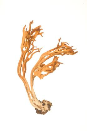 Meadow coral fungus (Clavulinopsis corniculata)
