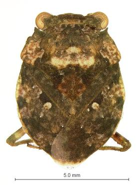 Toad Bug (Gelastocoris rotundatus)