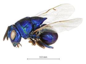 Perilampid Wasp (Euperilampus triangularis)