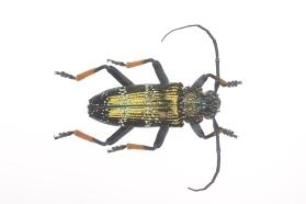 Long-Horned Beetle (Sphingnotus insignis)