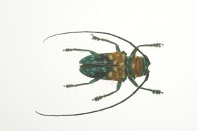 Long-horned Beetle (Coleoptera: Cerambycidae)