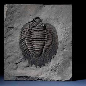 Arctinurus boltoni, a fossil trilobite from New York, USA