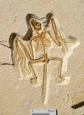 Fossil bat skeleton