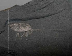 Burgessia bella from the Burgess Shale, British Columbia, Canada