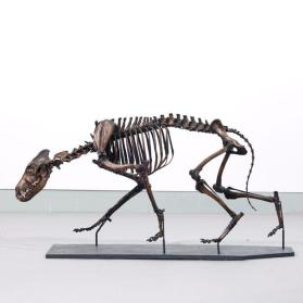 Fossil dire wolf skeleton