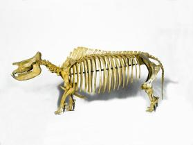Fossil rhinoceros skeleton
