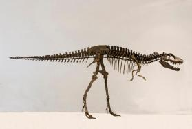 Theropod dinosaur skeleton