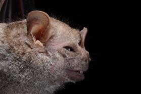 Hairy big-eyed bat (Chiroderma villosum)