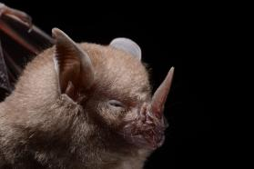 Dwarf little fruit bat (Rhinophylla pumilio)