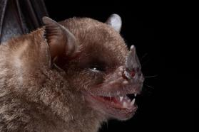 Little yellow-shouldered bat (Sturnira lilium)
