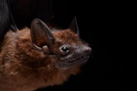 Chestnut sac-winged bat (Cormura brevirostris)