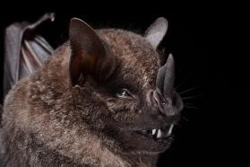 Dark fruit-eating bat (Artibeus obscurus)