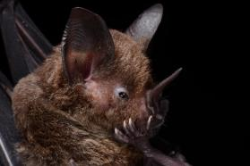 Lesser spear-nosed bat (Phyllostomus elongatus)