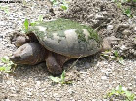 Common snapping turtle (Chelydra serpentina serpentina)