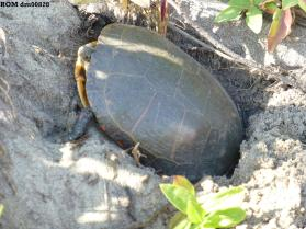 Painted turtle (Chrysemys picta marginata)
