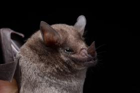 Miller's long-tongued bat (Glossophaga longirostris)