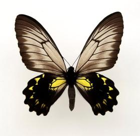 Borneo Birdwing