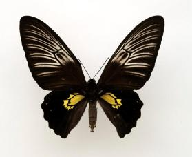 Birdwing butterfly (Troides plateni) female
