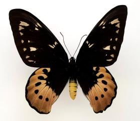 Goliath Birdwing (Ornithoptera goliath supremus) female