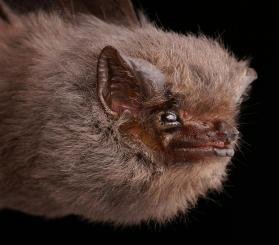 Short-eared Bat (Cyttarops alecto)