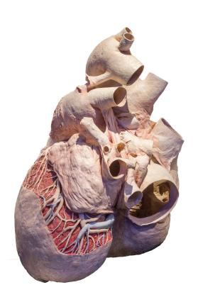 Blue Whale heart (Balaenoptera musculus)