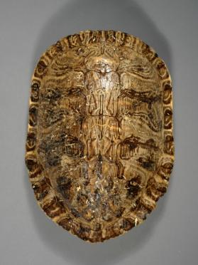 Skeleton; Carapace of Red-eared Slider