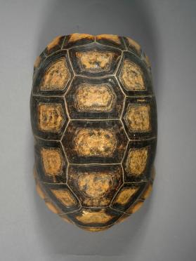 Skeleton; Yellow-footed Tortoise Carapace