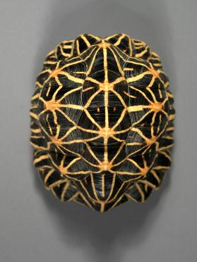 Carapace and Plastron of Indian Star Tortoise