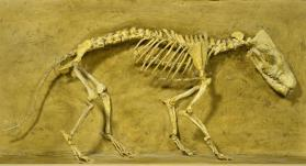 Fossil creodont skeleton