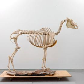 Quarter Horse skeleton