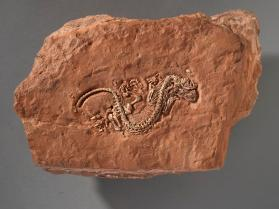 Fossil reptile skeleton