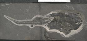 Fossil placoderm fish