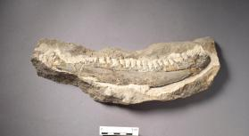 Fossil fish jaw