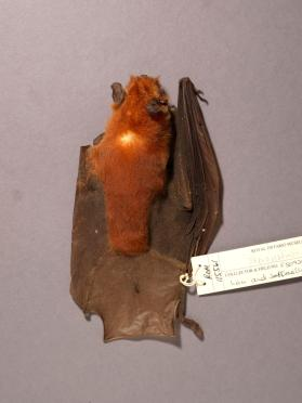 Parnell's moustached bat