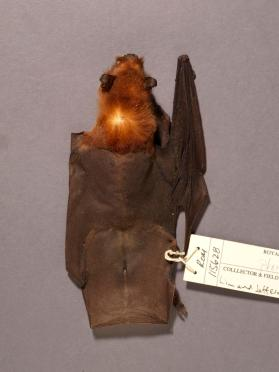 Big naked-backed bat