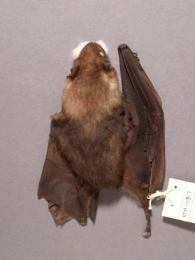 Broad-toothed Tailless Bat