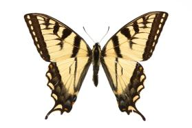 Canadian Tiger Swallowtail
