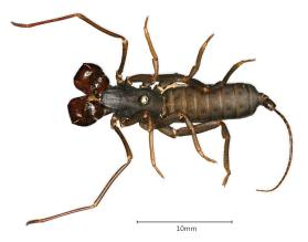 Whip Scorpion; Vinegaroon