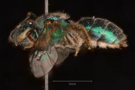 Northeastern Sweat Bee