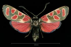 Burnet Moth; Forester Moth